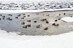 在河的鸭子大家庭在冬天 免版税图库摄影