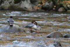在河的鸭子 图库摄影