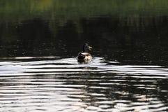 在河的鸭子 库存图片