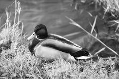 在河的鸭子 库存照片