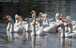 在河的鹅 免版税图库摄影