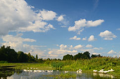 在河的鹅 免版税库存图片