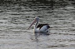 在河的鹈鹕 免版税图库摄影