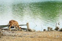 在河的鹿饮用水 免版税库存照片