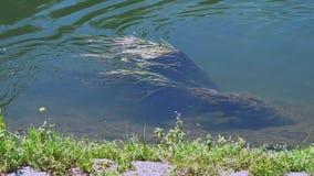 在河的麝香鼠游泳 股票录像