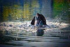 在河的绿色和棕色公印地安赛跑者鸭子 免版税库存图片
