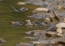 在河的水蛇 免版税库存图片