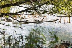 在河的Gooses 库存照片
