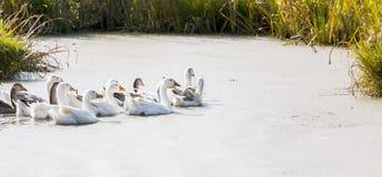 在河的Gooses 库存图片