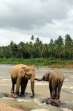 在河石头的Lankesian大象 免版税库存图片