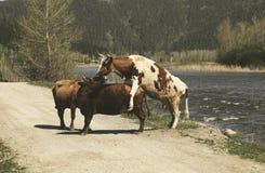 在河附近的三头母牛 库存照片