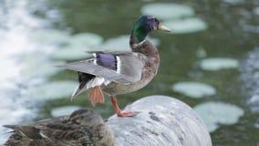 在河附近的两只逗人喜爱的五颜六色的鸭子 一个人睡觉,并且一个是醒的 影视素材