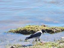 在河附近的乌鸦鸟 免版税库存照片