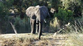 在河附近的大在背景的非洲大象和树 免版税图库摄影