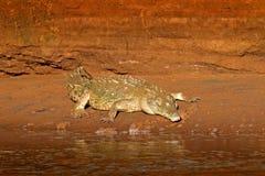 在河附近的晚上 鳄鱼画象在水中与日落光在哥斯达黎加 从热带的危险水域动物 免版税库存图片