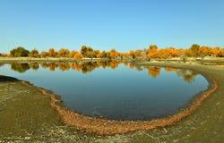 在河附近的杨属euphratica森林 库存图片