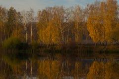 在河附近的桦树秋天的 免版税库存照片
