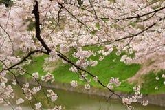 在河附近的樱花 库存图片
