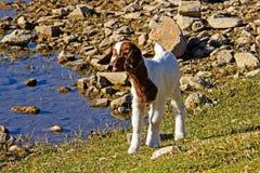 在河附近的白色和棕色山羊成套工具 免版税库存照片