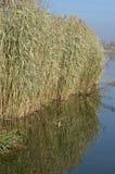 在河附近的里德 免版税图库摄影