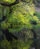 在河附近的鲜绿色叶子在早晨 图库摄影