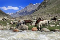 在河领域的,北印度附近的马饮用水 免版税库存照片