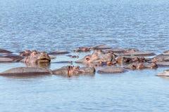 在河马水池, Ngorongoro保守主义者地区的河马 免版税库存图片