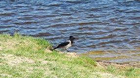 在河,立陶宛附近的乌鸦鸟 库存图片