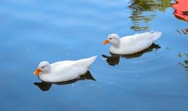 在河水的孪生白色鸭子 库存照片