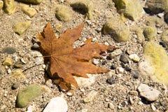 在河水的红色干燥枫叶 免版税库存照片