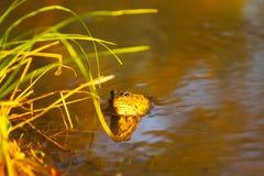 在河水的青蛙 库存照片