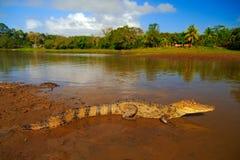 在河水的鳄鱼 戴了眼镜Caimani,凯门鳄crocodilus,与晚上太阳的水 从哥斯达黎加的鳄鱼 危险 免版税库存照片