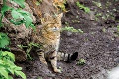在河` s岸的一只老猫跟踪赃物 在狩猎的猎人 图库摄影