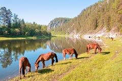 在河Belaya的马 库存照片