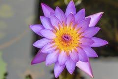 在河gardent beautifuf的桃红色莲花flot 库存图片