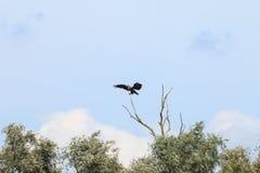 在河IJssel,荷兰附近的平衡的白被盯梢的老鹰 图库摄影