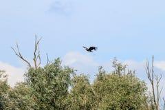 在河IJssel,荷兰附近的白被盯梢的老鹰 免版税库存照片