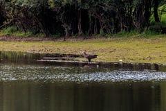 在河IJssel,荷兰附近的观看的白被盯梢的老鹰 免版税库存图片