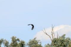 在河IJssel,荷兰附近的飞行的白被盯梢的老鹰 库存照片
