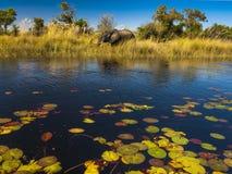 在河Okavango三角洲的大象,博茨瓦纳,非洲 免版税库存图片