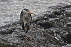 在河Rothay的脾气坏的灰色苍鹭 免版税库存图片