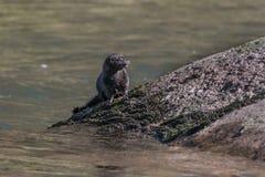 在河Usk的美国貂皮 库存图片