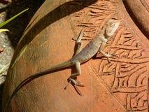 在油罐的沙漠蜥蜴 免版税库存照片