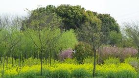 在油菜籽和海鲷以后的大树 免版税库存照片