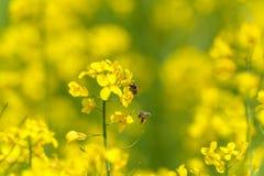 在油菜籽开花的两只蜂 宏指令 模糊的背景 库存图片