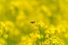 在油菜籽开花的宏观蜂 模糊的背景 库存照片
