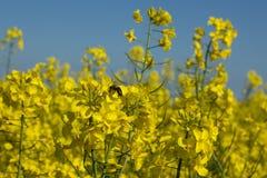 在油菜籽开花的蜂蜜蜂 库存照片