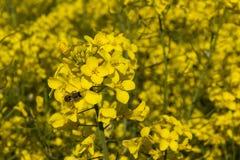 在油菜籽开花的蜂蜜蜂 免版税库存照片