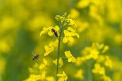 在油菜籽开花的飞行蜂 宏观照片写真有模糊的背景 一只蜂是模糊的由于在焦点外面 图库摄影