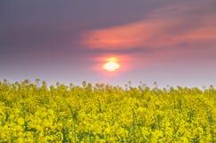 在油菜籽日落的域 免版税库存照片